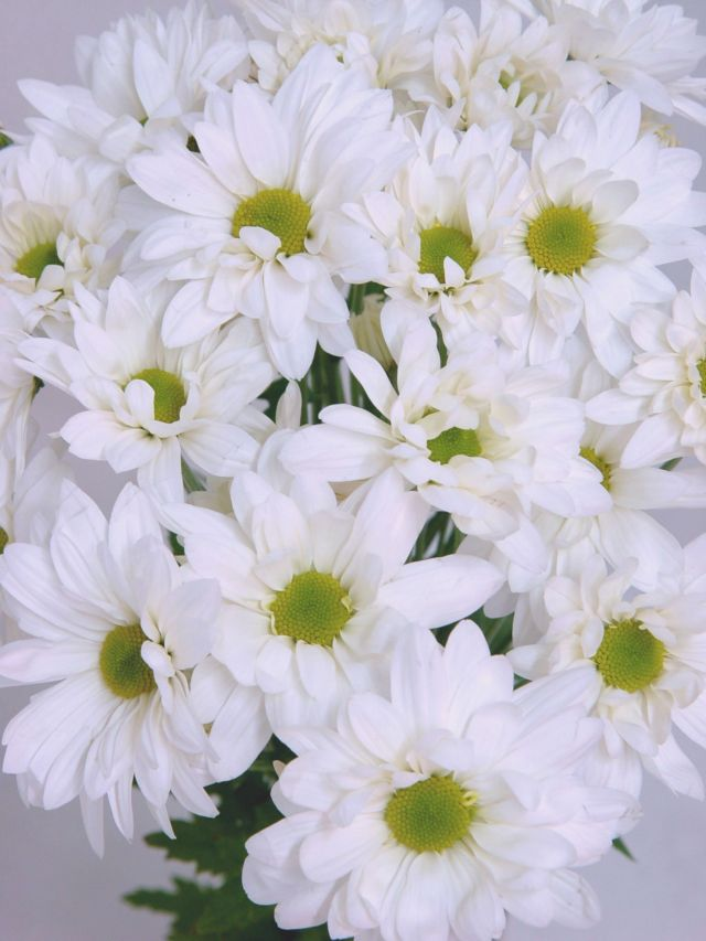 фото хризантем белых