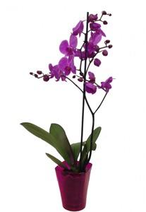 Орхидея 1 цветонос