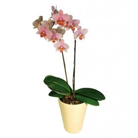 Орхидея 2 цветоноса