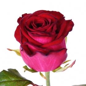 Роза Чири (Chiri)