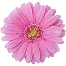 Гербера розовая