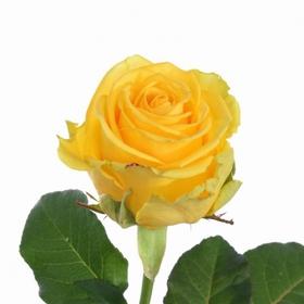 Роза Тара (Tara)
