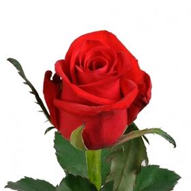 Роза Ред Игл (Red Eagle)