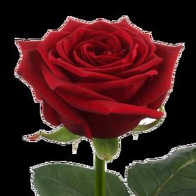 Роза Ред Наоми (Red Naomi)
